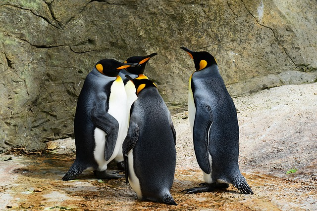 Group of King Penguins socializing